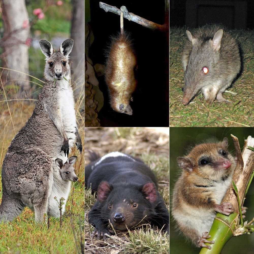 Multiple Marsupials